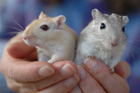 Pet Gerbils Tooting