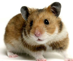 Pet hamsters Tooting